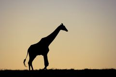 Giraf bij zonsondergang royalty-vrije stock foto's