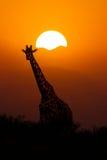 Giraf bij Zonsondergangachtergrond stock foto