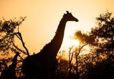 Giraf bij zonsopgang Royalty-vrije Stock Foto's