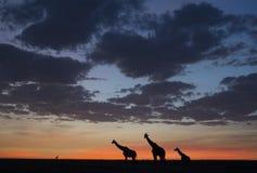 Giraf bij zonsopgang stock afbeelding