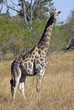 Giraf - Botswana stock foto