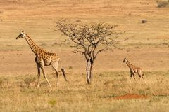 Giraf with calf in Africa Royalty Free Stock Photography