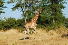 Giraf (camelopardalis Giraffa) Royalty-vrije Stock Fotografie