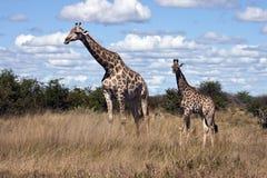 Giraf (camelopardlis Giraffa) - Botswana stock foto