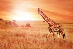 Giraf in de Afrikaanse savanne bij zonsondergang Wilde aard van Afrika royalty-vrije stock fotografie