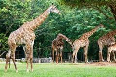 Giraf in de Dierentuin Stock Foto