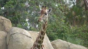 Giraf in de dierentuin stock video