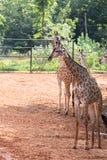 Giraf in de dierentuin royalty-vrije stock afbeeldingen