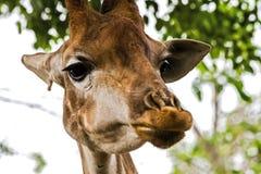 Giraf in de dierentuin, het hoofd van een giraf royalty-vrije stock foto's