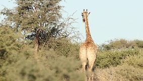 Giraf in de Kalahari stock footage