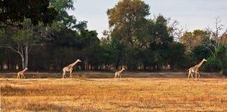 Giraf de la familia Imagenes de archivo
