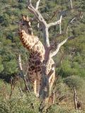 Giraf in de Madikwe-Spelreserve, Zuid-Afrika Royalty-vrije Stock Afbeeldingen
