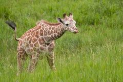 Giraf de Met een netvormig patroon van de baby Stock Afbeelding