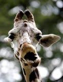 Giraf in de Nationale Dierentuin van Maleisië Stock Fotografie