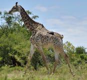 Giraf in de Reserve van het Spel hluhluwe-Umfolozi stock foto's
