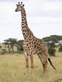 Giraf in de savanne royalty-vrije stock foto's