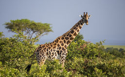Giraf in de savanne royalty-vrije stock foto