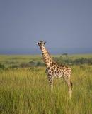 Giraf in de savanne stock foto