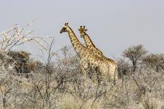 Giraf in de savanne van Namibië Royalty-vrije Stock Foto's