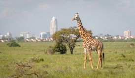 Giraf in de stad van Nairobi de hoofdstad van Kenia royalty-vrije stock foto
