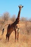Giraf in de struik stock afbeeldingen