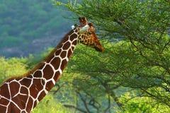 Giraf in de wildernis stock afbeeldingen