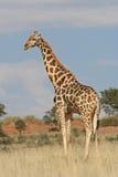 Giraf in de wildernis royalty-vrije stock foto's