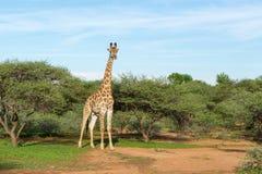 Giraf in de Wildernis Royalty-vrije Stock Afbeelding