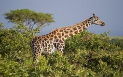 Giraf in de Wildernis stock foto's