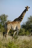 Giraf in de Wildernis stock afbeelding