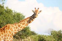 Giraf in de wildernis wordt bevlekt die stock foto's