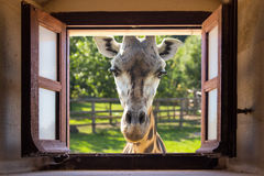 Giraf dichte omhooggaand bij venster royalty-vrije stock foto's
