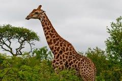 Giraf die 2353 eet Stock Foto's