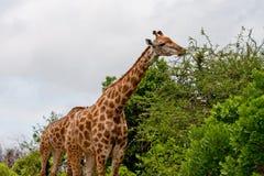 Giraf die 2433 eatiing Royalty-vrije Stock Foto