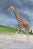 Giraf die aan u op diepe blauwe hemelachtergrond komen Royalty-vrije Stock Afbeeldingen