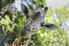 Giraf die bij camera staart Stock Foto