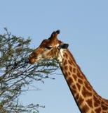 Giraf die bladeren eet Royalty-vrije Stock Foto