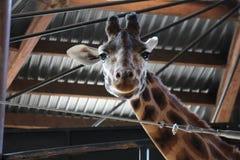 Giraf die camera met grijns op gezicht bekijken stock foto
