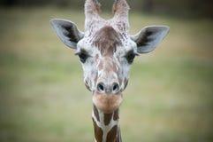Giraf die Camera onderzoekt Royalty-vrije Stock Foto