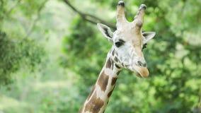 Giraf die de camera bij dierentuin bekijken stock video