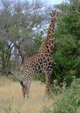 Giraf die de camera in de struik bij het Nationale Park van Kruger, Zuid-Afrika bekijken stock afbeeldingen