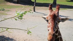 Giraf die een boomtak in dichte omhooggaand (gestabiliseerd) eten stock footage
