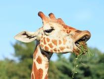 Giraf die gras en vuil eten Royalty-vrije Stock Afbeeldingen