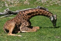 Giraf die in Gras leggen royalty-vrije stock foto's
