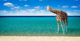 Giraf die in het overzees rusten stock fotografie