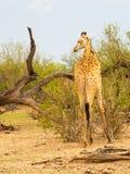 Giraf die hoofdlinkerzijde in Afrikaanse savanne met een oxpecker draaien stock foto's