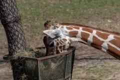 Giraf die hooi van de mand eten Reticulata van Giraffacamelopardalis Royalty-vrije Stock Foto
