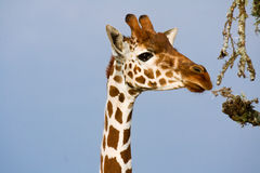 Giraf die met een netvormig patroon op Acaciatakken doorbladeren stock foto