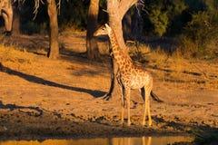 Giraf die naar waterhole bij zonsondergang lopen Het wildsafari in het Nationale Park van Mapungubwe, Zuid-Afrika Toneel zacht wa Stock Afbeeldingen