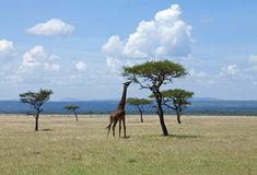 Giraf die op Acacia op Masai Mara doorbladert Stock Fotografie